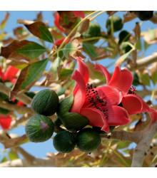 Cejba číhovitá - Bombax ceiba - osivo čejhy - 6 ks