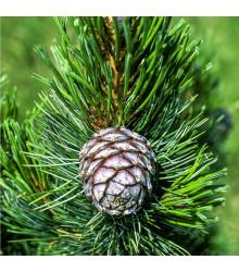 Borovice Limba - sibiřský cedr - Pinus cembra sibirica - semena borovice - 7 ks