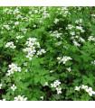 Potočnice lékařská - léčivá rostlina Nasturtium officinale - prodej semen potočnice - 40 ks
