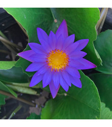 Leknín fialový - Nymphaea caerulea - semena leknínu - 6 ks