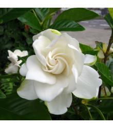 Gardénie - Gardenia jasminoides - osivo gardénie - 6 ks