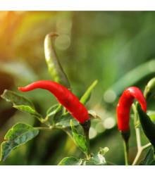 More about Chilli Thai Hot - extra pálivé - semena Chilli papriček - 6 ks