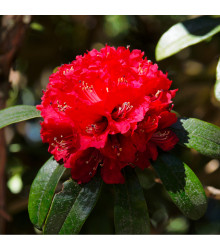 Rododendron - Pěnišník - Rhododendron arboreum - osivo rododendronu - 50 ks