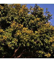 Mýdelník pravý - rostlina Sapindus saponaria - prodej semen mýdelníku - 3 ks