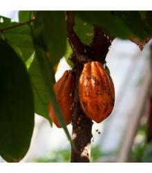More about Kakaovník pravý červený - Theobroma cacao - semena kakaovníku - 5 ks