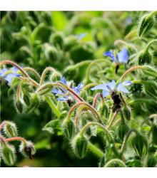 BIO Brutnák lékařský - Borago officinalis - bio semena brutnáku - 20 ks