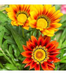 Gazánie zářivá směs barev - Gazania splendes - semena letniček - semena Gazánie - 0,15 gr