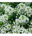 Tařicovka přímořská sněhově bílá - rostlina Lobularia maritima - 1 gr