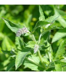 Máta dlouholistá - Mentha longifolia - semena máty - 20 ks