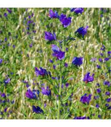 More about Hadinec jitrocelovitý - Echium plantagineum - osivo hadince - 0,5 g
