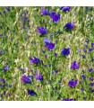 Hadinec jitrocelovitý - Echlum plantagineum - prodej semen - 0,5 gr