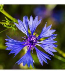 More about Chrpa modrá - Centaurea cyanus - osivo chrpy - 30 ks