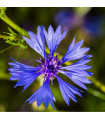 Chrpa modrá - Centaurea cyanus - semena chrpy - 30 ks