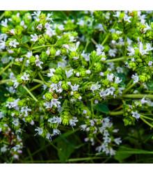 More about Řecké oregano - Origanum hirtum - semena oregana - 0,03 g