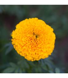 More about Aksamitník vzpřímený nízký Golden Age - Tagetes erecta nana - osivo aksamitníku - 100 ks