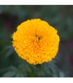 Aksamitník vzpřímený nízký Golden Age - Tagetes erecta nana - semena Aksamitníku - 0,3 g