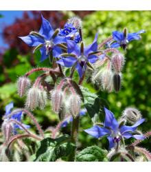 More about Brutnák modrý - Borago officinalis - semena brutnáku - 20 ks