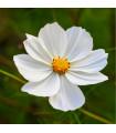 Krásenka zpeřená Bílá senzace - Cosmos bipinnatus - semena Krásenky - 40 ks