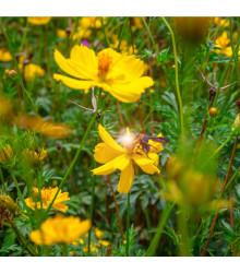 Krásenka žlutá Sunset - Cosmos sulphureus - osivo krásenky - 40 ks