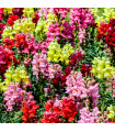 Hledík největší - letnička Antirrhinum maximum - prodej semen letniček - 0,2 gr
