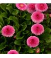 Sedmikráska ponponková růžová - Bellis perennis - prodej semen - 0,1 gr
