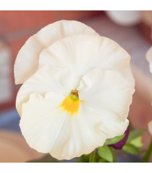 Maceška Schweizer Riesen Firnenschnee - Viola wittrockiana - osivo macešky - 200 ks