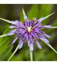 Kozí brada fialová - Tragopogon porrifolius - prodej semen - 90 ks