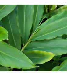 Kardamom černý - Amomum subulatum - semena kardamomu - 5 ks