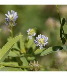 More about Pískavice modrá - Řecké seno - Trigonella caerulea - prodej semen - 1,5 gr