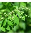 Henna- Lawsonia inermis- semena Henny- 4 ks
