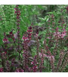 Bazalka posvátná červená Holy red - Ocimum tenuiflorum - osivo bazalky - 30 ks