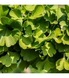 More about Ginkgo biloba - Jinan dvoulaločný - semena Ginkga - 2 ks
