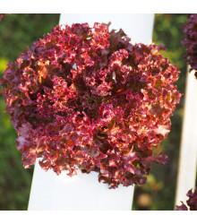 Salát červený kadeřavý - Lactuca sativa - osivo salátu - 900 ks