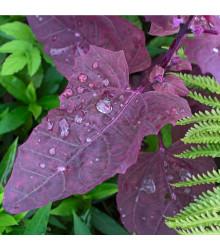 Lebeda zahradní Scarlet - Atriplex hortensis - osivo lebedy - 60 ks