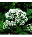 Kerblík lesní - Anthriscus sylvestris - semena kerblíku - 0,7 gr