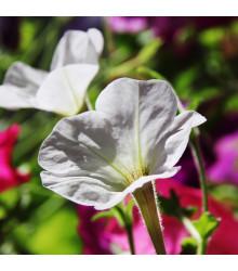 Petúnie bílá nízká Snowball - Petunia nana compacta - osivo petúnie - 20 ks