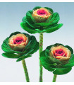 Okrasné zelí Crane F1 bicolor - Brassica oleracea - prodej semen - 20 ks