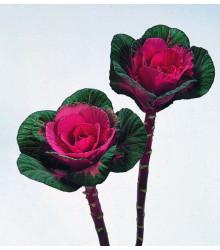 Okrasné zelí Sunset F1 - Brassica oleracea - osivo okrasného zelí - 20 ks