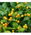 Chilli - Aji Charapita - Capsicum Chinenses - semena - 7 ks