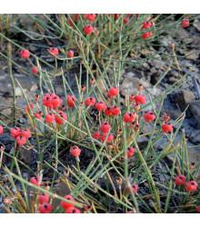 More about Chvojník nevadský - Ephedra nevadensis - semena - 8 ks