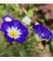 Svlačec trojbarevný - prodej semen - Convolvus tricolor - 0,7 gr
