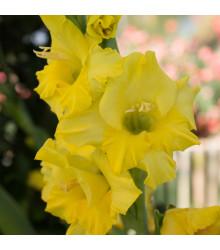 More about Gladiol Gold žlutý - Gladiolus - cibule mečíků - 3 ks