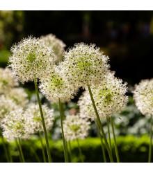 Česnek Mont Blanc - Allium - cibule česneku - 1 ks