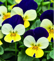 Violka rohatá Lemon Purple Wing - Viola cornuta - osivo violky - 20 ks