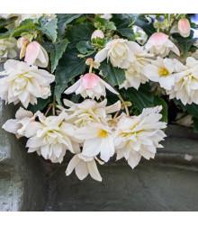 Begonie Pendula - Begonia pendula maxima - cibule begonie - 2 ks