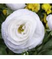Pryskyřník plnokvětý bílý - Ranunculus asiaticus - prodej holandských cibulovin - 3 ks