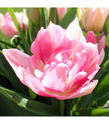 More about Tulipán Peach Blossom - Tulipa - cibule tulipánů - 3 ks
