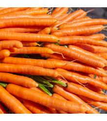 Mrkev Lange Rote Stumpfe ohne Herz 2 - Daucus carota - osivo mrkve - 1 g
