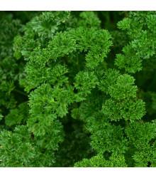 Petržel naťová Zelená Perla - Petroselinum crispu - osivo petržele - 1 g