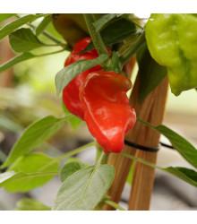 Chilli Jamaican Hot Red - Capsicum annuum - osivo chillli - 6 ks
